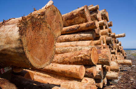 Trees cut and gathered waiting for the next stage of production or export