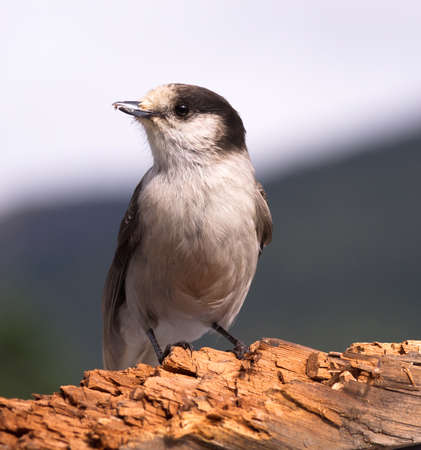 A Grey Jay or Whiskey Jack is perched on a broken log photo