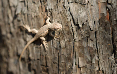 recently: A Sagebrush lizard on a tree in a recently burned forest Stock Photo