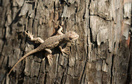 sagebrush: A Sagebrush lizard on a tree in a recently burned forest Stock Photo