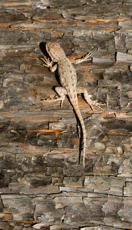 A Sagebrush lizard on a tree in a recently burned forest Stock Photo