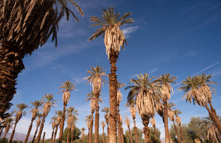 Blue skies make a good background for tropical palm trees in Death Valley photo