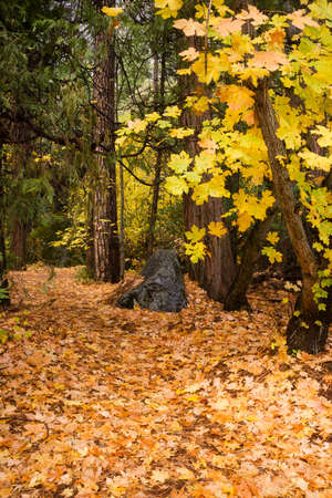 saturated color: Deep saturated color on the Yosemite Valley forest floor