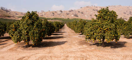 orange grove: Good sun is one of the keys to a productive orange grove