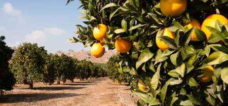 Bon soleil est l'une des clés d'une orangeraie productive Banque d'images
