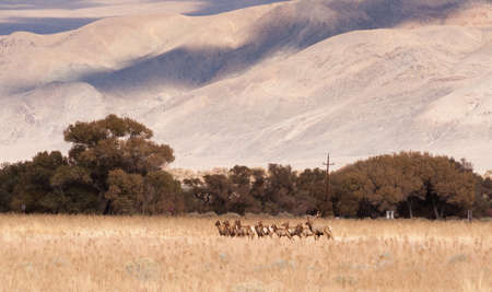 owens valley: Male Bull Elk Leads Female Animal Brood Mates Livestock Owens Valley