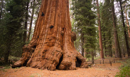 Huge base of a Giant Sequoia Tree