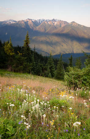 Early Morning Light Wildflower Meadow Olympic Mountains Hurricane Ridge