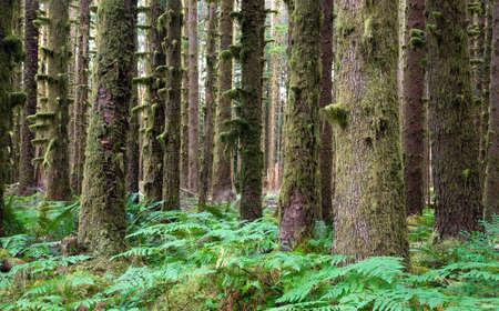 cicuta: Hoh Selva Abeto Hemlock �rboles de cedro Helecho Groundcover Foto de archivo