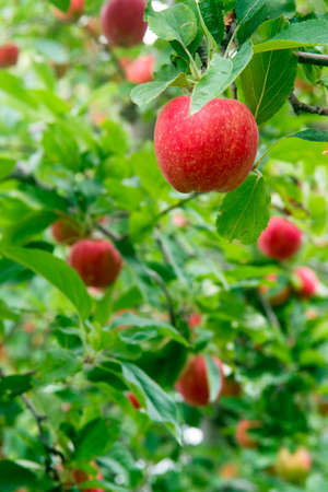 tree farming: Apples hang in the orchard waiting to ripen