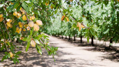 spring landscape: Healthy raw nuts still growing in the farmers orchard