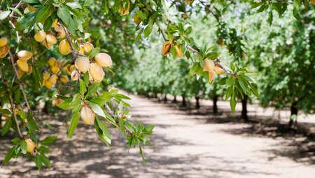 Healthy raw nuts still growing in the farmer's orchard Foto de archivo