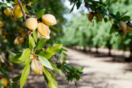 arboles frutales: Nueces crudas saludables sigue creciendo en el huerto del agricultor