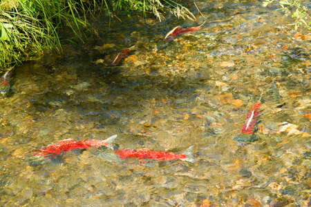 upstream: Salmon head into the stream for the last time in thier lives