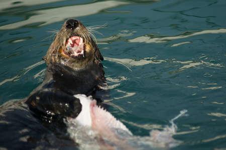 eats: A Sea Otter eats breakfast in a boat slip in the marina