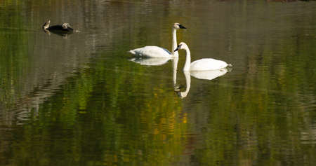trumpeter swan: A calm lake supports two Trumpeter Swans during the fall in Alaska