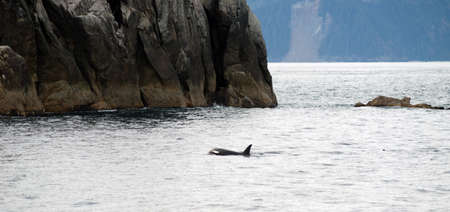 blowhole: A killer whale surfaces in the Pacific Ocean off the coast of Alaska