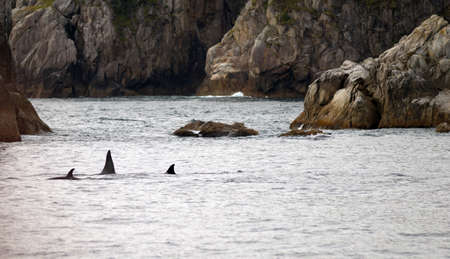 orificio nasal: Un grupo de ballenas romper la superficie del agua costa de Alaska