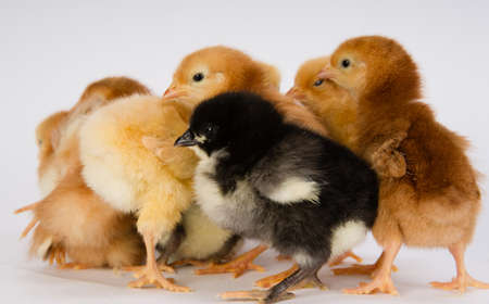 black newborn: Newborn Chickens Stand with Siblings Together Just a Few Days Old