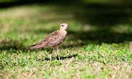 feather: Esta ave es una vista com�n en Oahu, donde pueden verse buscar el terreno para alimentos Foto de archivo