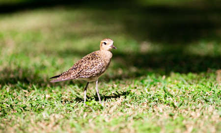 This bird is a common sight on Oahu where they can be seen searching the ground for food