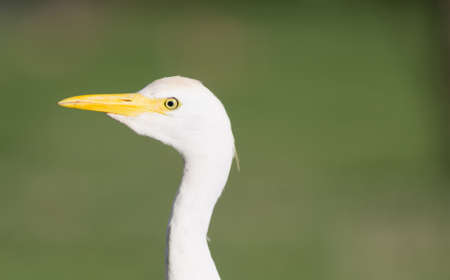 an feather: The Cattle Egret is a common sight in the parks of Oahu