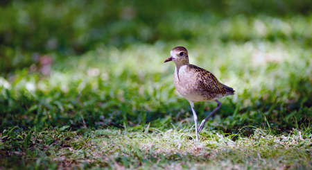 pluvialis: This bird is a common sight on Oahu where they can be seen searching the ground for food