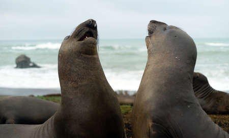 animal sex: Elephant seals share their warmth on a winter day on the Pacific Stock Photo