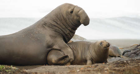 animal sex: Soft sand of the Pacific Coast provides ground for mating rituals of the Elephant Seal Stock Photo