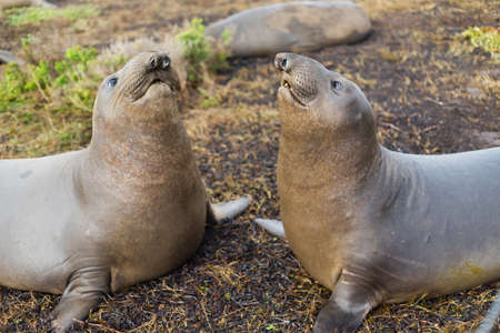 animal sex: Elephant seals stand off on a winter day on the Pacific