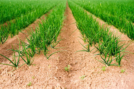 thriving: California grows crops year round and here are green onions thriving in January