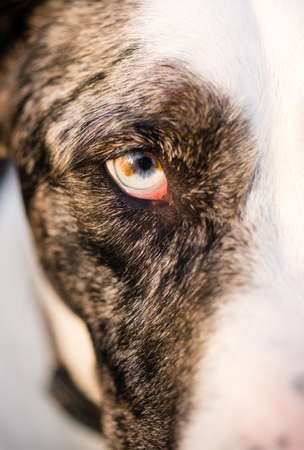 animal body part: Intense Canine Dog Wolf Animal Eye Pupil Unique Color Stock Photo