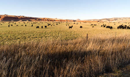 black angus cattle: Black Angus Cattle Graze Large Ranch Wyoming Domestic Animal