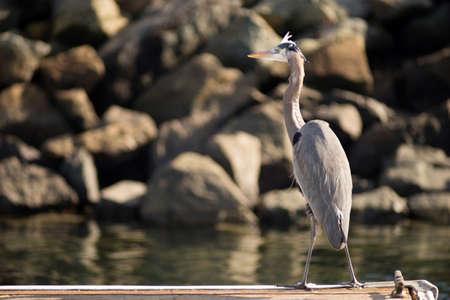blue heron: Great Blue Heron Wild Bird Animal Wildlife Dock Marina