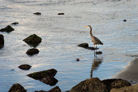 A Heron surveys the scene from the riverbank 版權商用圖片