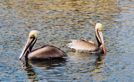 buen vivir: The Pelicans have learned they can make a good living hanging around the boat dock in San Diego Bay Foto de archivo