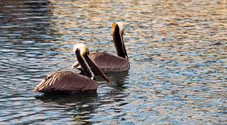 buen vivir: Los pelícanos han aprendido que pueden hacer una buena vida que cuelga alrededor del muelle en San Diego