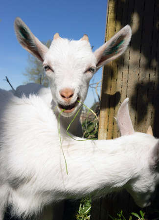 escaped: Several newborn white Goats have escaped too small for the fence to hold them