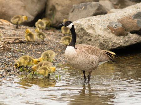 offspring: Ganso salvaje de la madre permanece cerca de la descendencia a la línea de costa