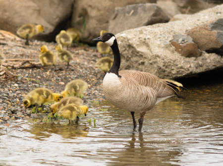 Wild Mother Goose stays close to offspring on Waterfront Stock Photo