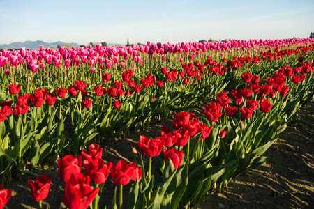 skagit: RED Tulips Sunlight Floral Agriculture Flowers Skagit Valley
