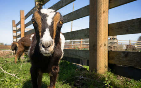living being: Earless Goat Close Portrait Farm Animal Domestic Livestock