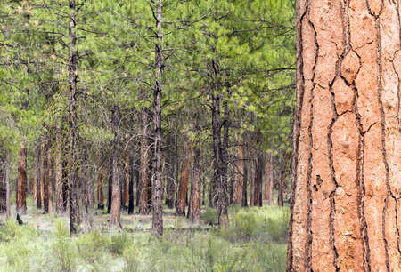 populate: A large variety of trees populate Dechutes County in Oregon