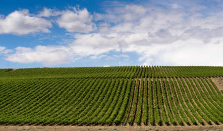 Beautiful healthy fresh fruit Grapes are nurchered in the Columbia River Valley