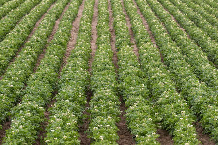 russet potato: Rows and rows of Potato Plants grow in Idaho Agricultural Farms