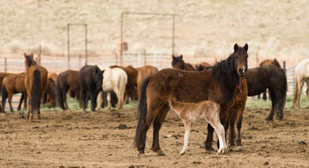 hijos: Wild Horses Collected Oregon State Horse Pony Offspring