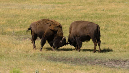bull fighting: Wild Animal Buffalo Bull Males Fighting for Territory Stock Photo