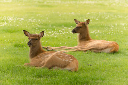 calves: Two Elk calves lay relaxing in the grass