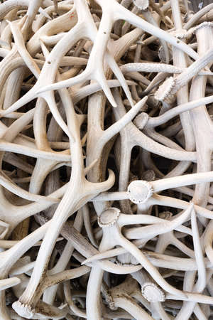 hundreds: Hundreds of Elk antlers all arranged together as an arch