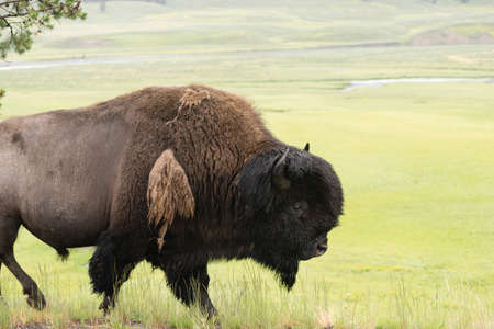 A big male bull Bison walks along just after sunrise Stock Photo